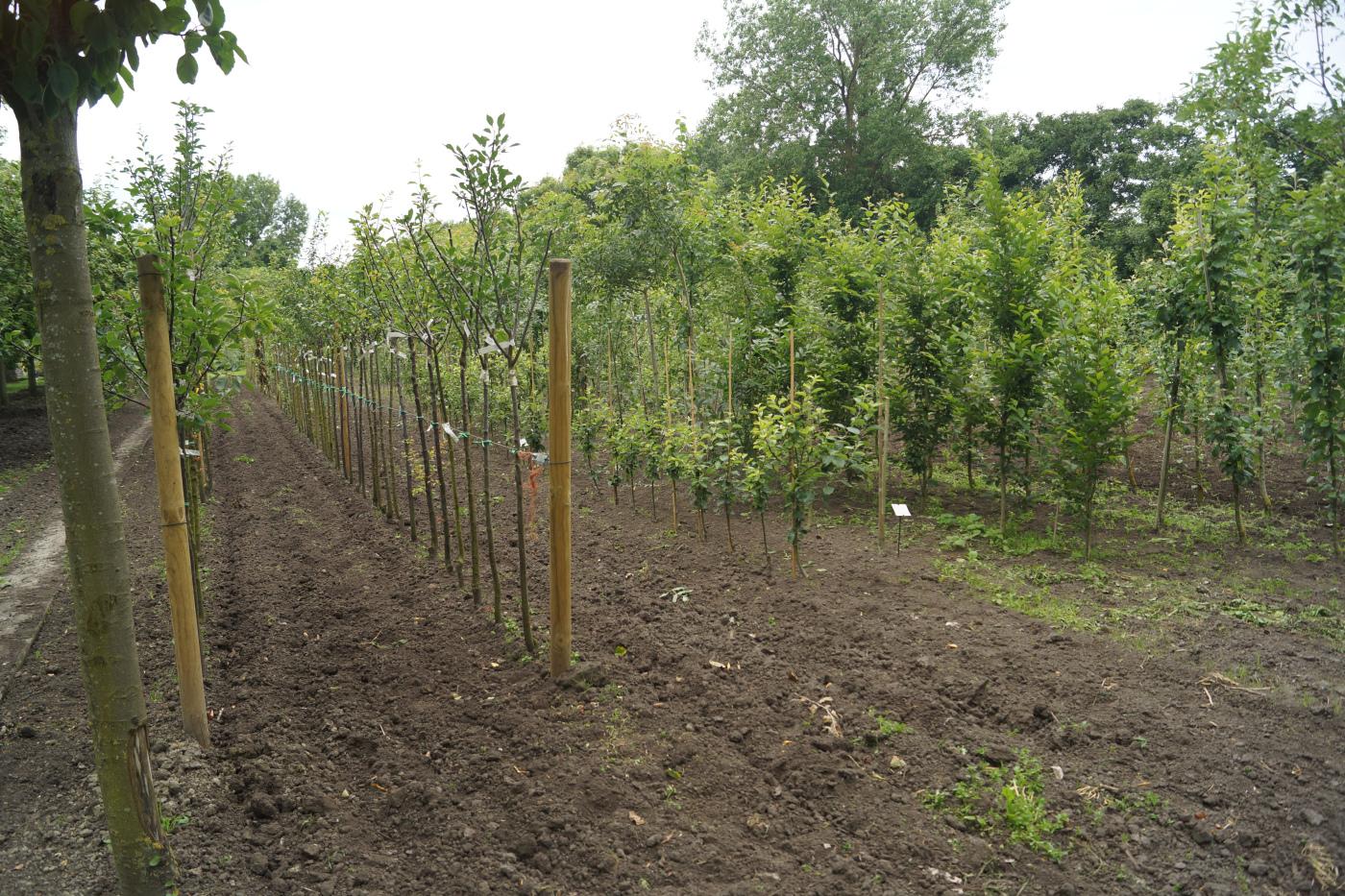 fruitbomen-opkweek-fruitboomkwekerij-Blankenberge-Jan Sterken