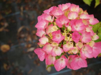 Hortensia---kwekerij-Jan-Sterken---Blankenberge