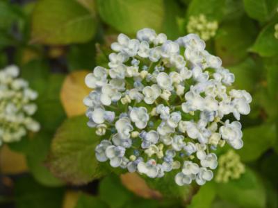 Hortensia-macrophylla-Ayesha
