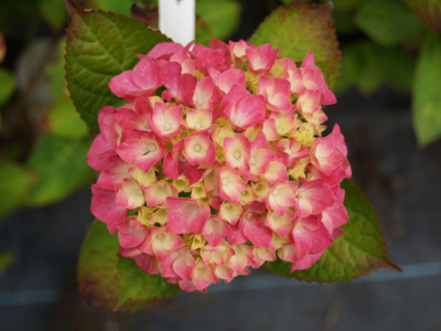 Hortensia-macrophylla-King-Georges