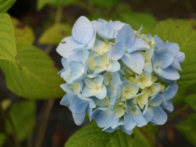 Hortensia-macrophylla-Nikko-Blue