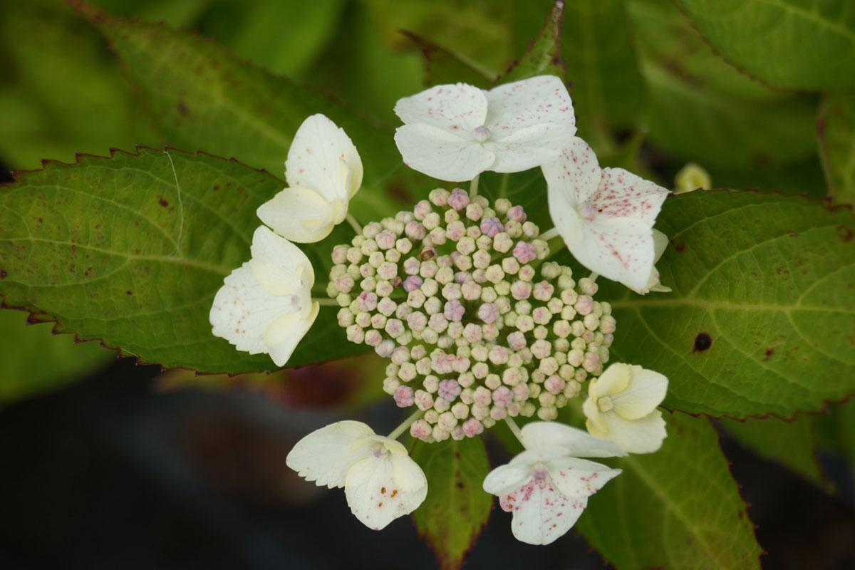 Hortensia-macrophylla-Veitchii