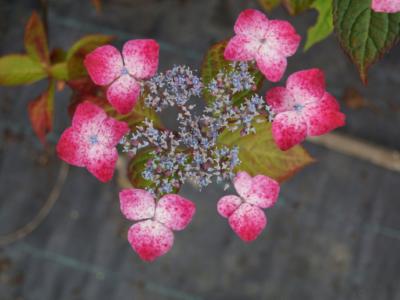 Hortensia-serrata-Kurenai