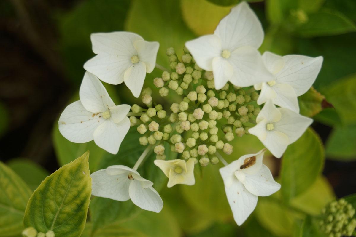 Hydrangea-macrophylla-Lanarth-White