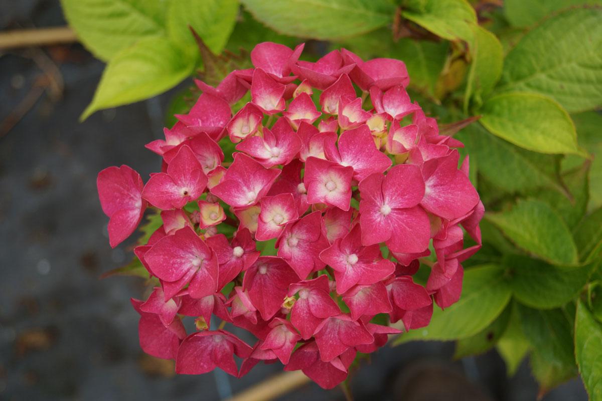 Hydrangea-macrophylla-Leucht-Feuer