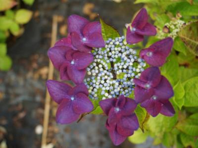 Hydrangea-macrophylla-Rotschwanz