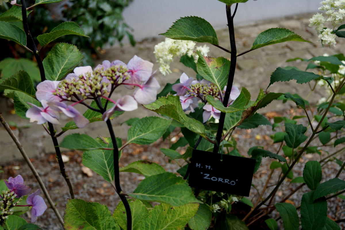 Hydrangea-paniculata-Zorro