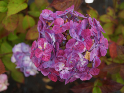 Hydrangea-serrata-Preziosa