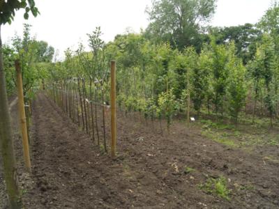 fruitbomen-opkweek-fruitboomkwekerij-Blankenberge-Jan-Sterken
