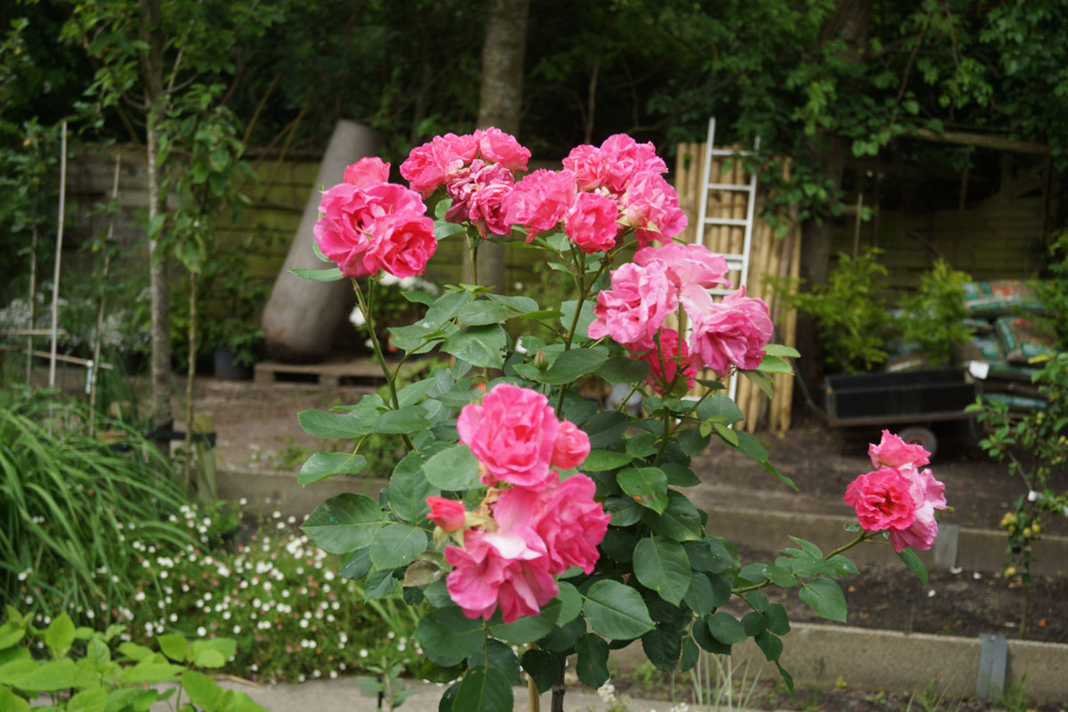 kwekerij_blankenberge_aanleg_border_rozen